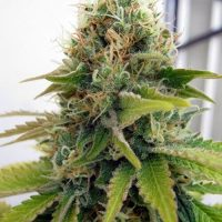 Seedsman Blueberry female Seeds