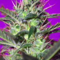 Sweet Seeds Botafumeiros female Seeds