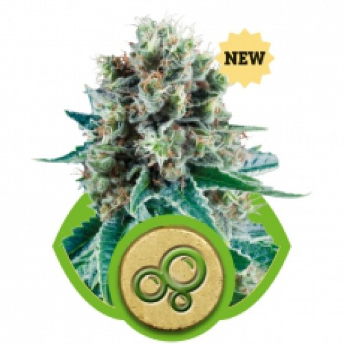 Royal Queen Seeds Bubble Kush AUTO female Seeds