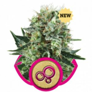 Royal Queen Seeds Bubble Kush female Seeds