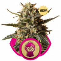 Royal Queen Seeds Bubblegum XL female Seeds