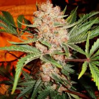 Nirvana Seeds Bubblelicious female Seeds