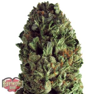 Heavyweight Seeds Budzilla female Seeds