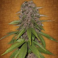 Fast Buds C4-matic female seeds