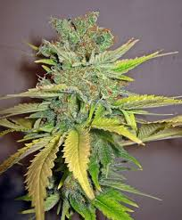 Seedsman California Orange female Seeds