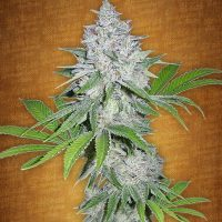 Fast Buds California Snow female seeds