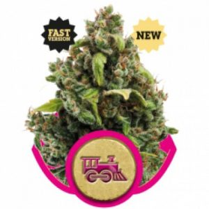Royal Queen Seeds Candy Kush Express FAST female Seeds