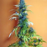 Seedsman Candy Cream female Seeds