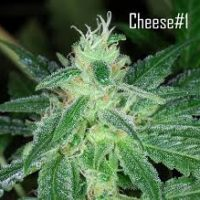 Seedsman Cheese female Seeds