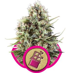 Royal Queen Seeds Chocolate Haze female Seeds