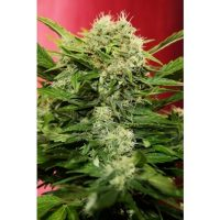 Joint Doctor Chronic Ryder Autoflowering female Seeds