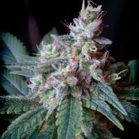 Sweet Seeds Cream Caramel female Seeds