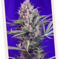 Sweet Seeds Cream Mandarine FAST Version female
