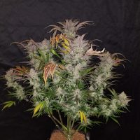 Fast Buds Cookies Cream female seeds