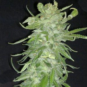 KC Brains Cristal Paradise female Seeds