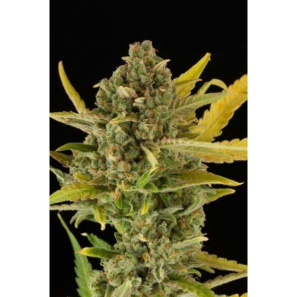 Dinafem Critical Cheese female Seeds