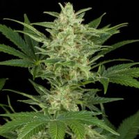 Dinafem Critical Jack Automatic female Seeds