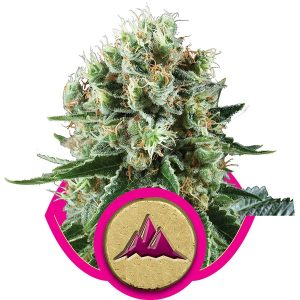 Royal Queen Seeds Critical Kush female Seeds