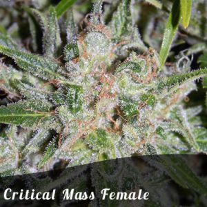 Discount Female Seeds Critical Mass female seeds
