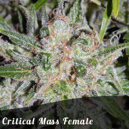 Bulk Seeds Critical Mass female seeds
