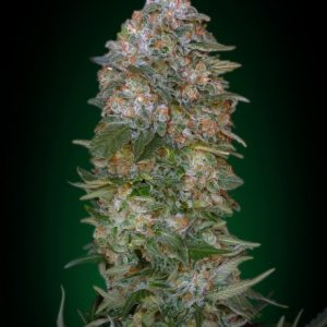 Advanced Seeds Critical Soma female seeds