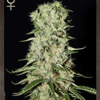 Strain Hunters Damnesia AUTO female Seeds