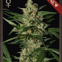 World of Seeds Amnesia female Seeds