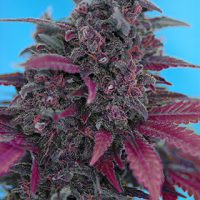 Sweet Seeds Dark Devil Auto female Seeds
