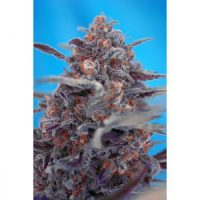 Sweet Seeds Devil Cream AUTO female Seeds