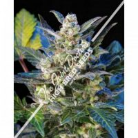 Seedsman Diesel Ryder Autoflowering female Seeds