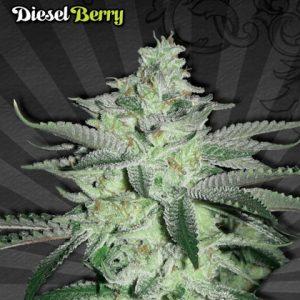 Auto Seeds Diesel Berry