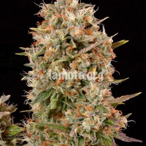 Dinafem Dinachem female Seeds