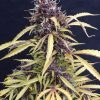 Joint Doctor Diesel Ryder Autoflowering female Seeds