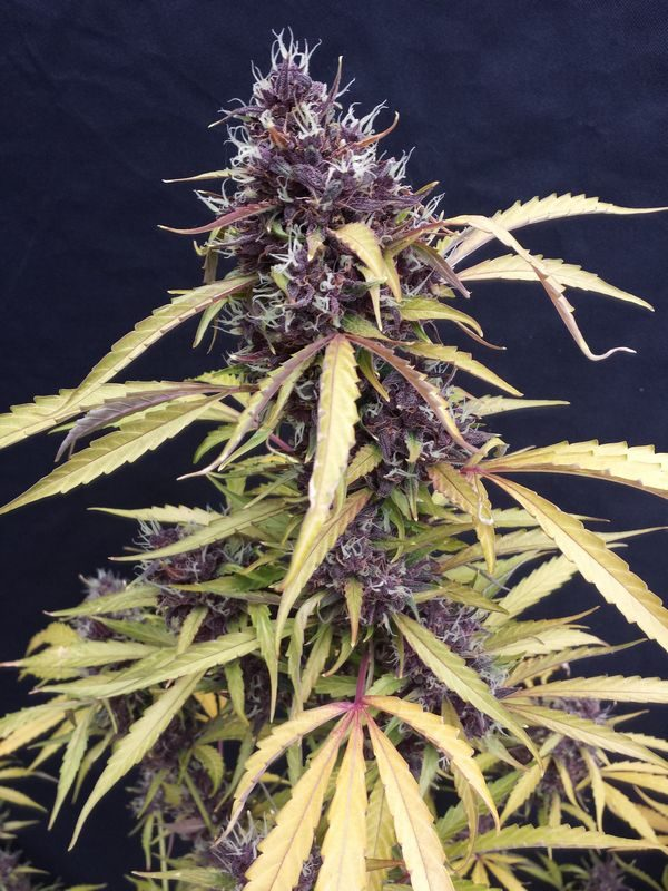 Joint Doctor Easy Ryder Autoflowering female Seeds