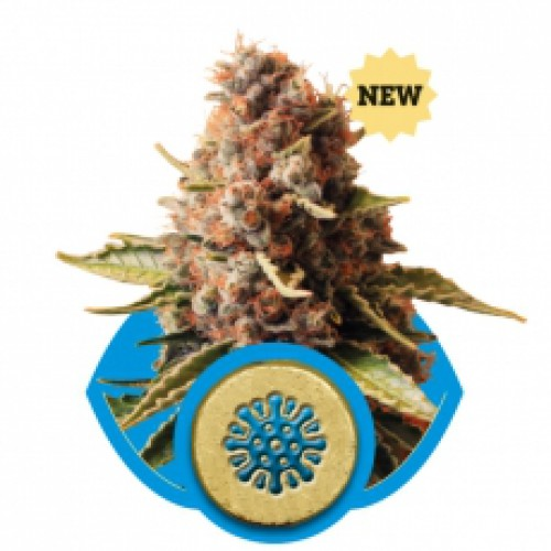 Royal Queen Seeds Euphoria female Seeds