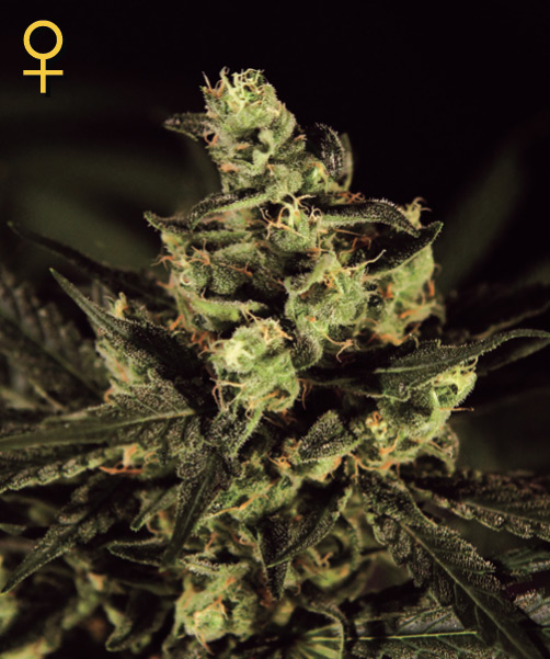 Greenhouse Seed Co. Exodus Cheese female Seeds