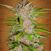 Fast Buds Fastberry female seeds