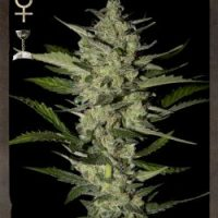 Strain Hunters Flowerbomb Kush female Seeds