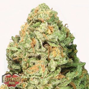 Heavyweight Seeds Fruit Punch female Seeds