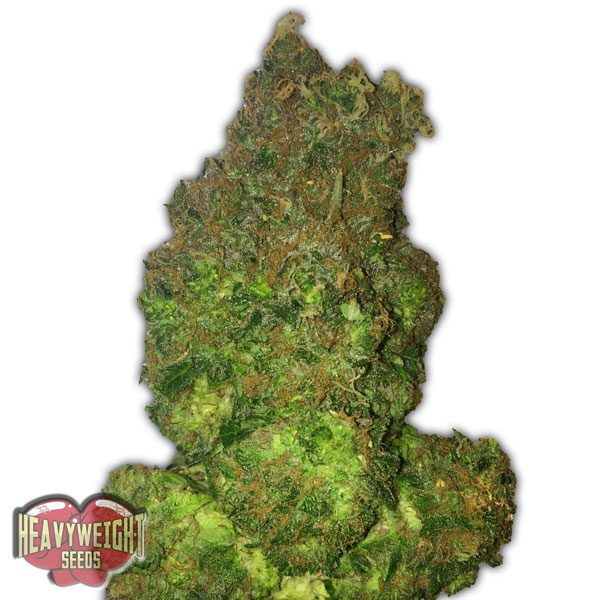 Heavyweight Seeds Auto Fruit Punch female Seeds