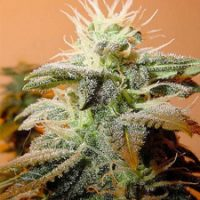 Female seeds company Indoor Mix female Seeds