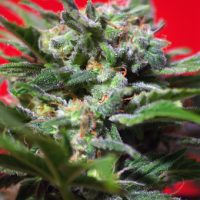 Sweet Seeds Ganesh Spirit female Seeds