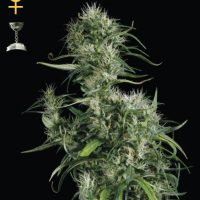 Greenhouse Seed Co. Neville's Haze female Seeds