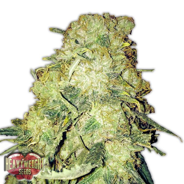Heavyweight Seeds Goldmine female Seeds