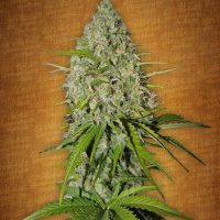 Fast Buds Grapefruit-matic female seeds