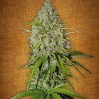 Fast Buds Grapefruit-matic female seeds