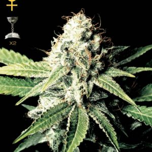 Greenhouse Seed Co. Great White Shark female Seeds