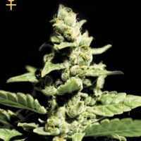 Greenhouse Seed Co. Green-O-Matic female Seeds