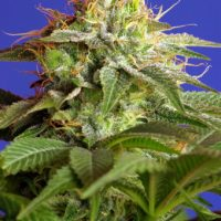 Sweet Seeds Green Poison VAST Version female Seeds
