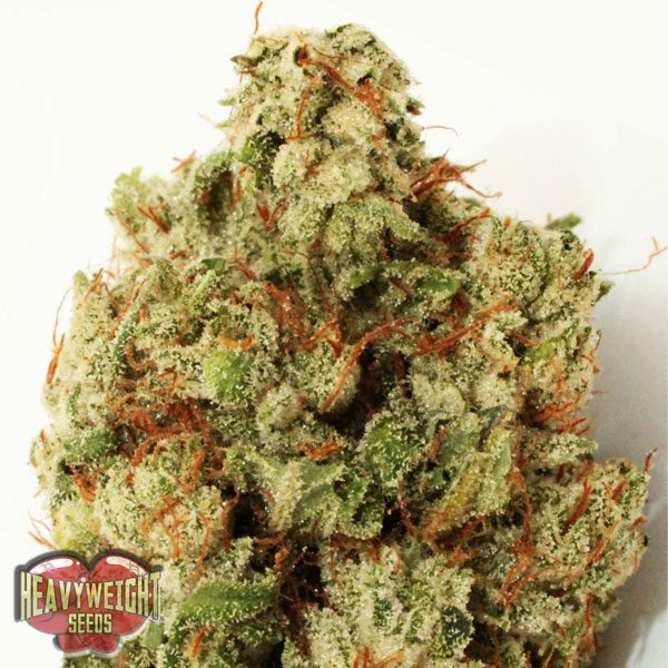 Heavyweight Seeds Green Ninja female Seeds